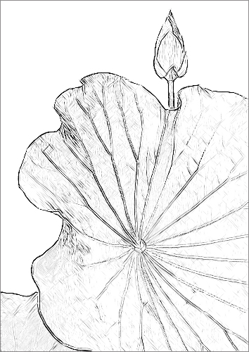 Lotus Flower Sketch Pencil Drawing Photo Based