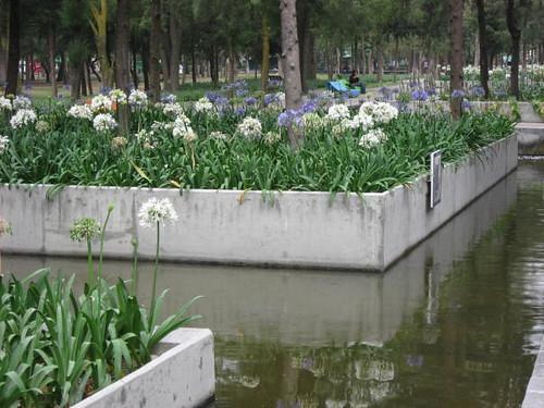 Agapanthus, Chapultapec Park