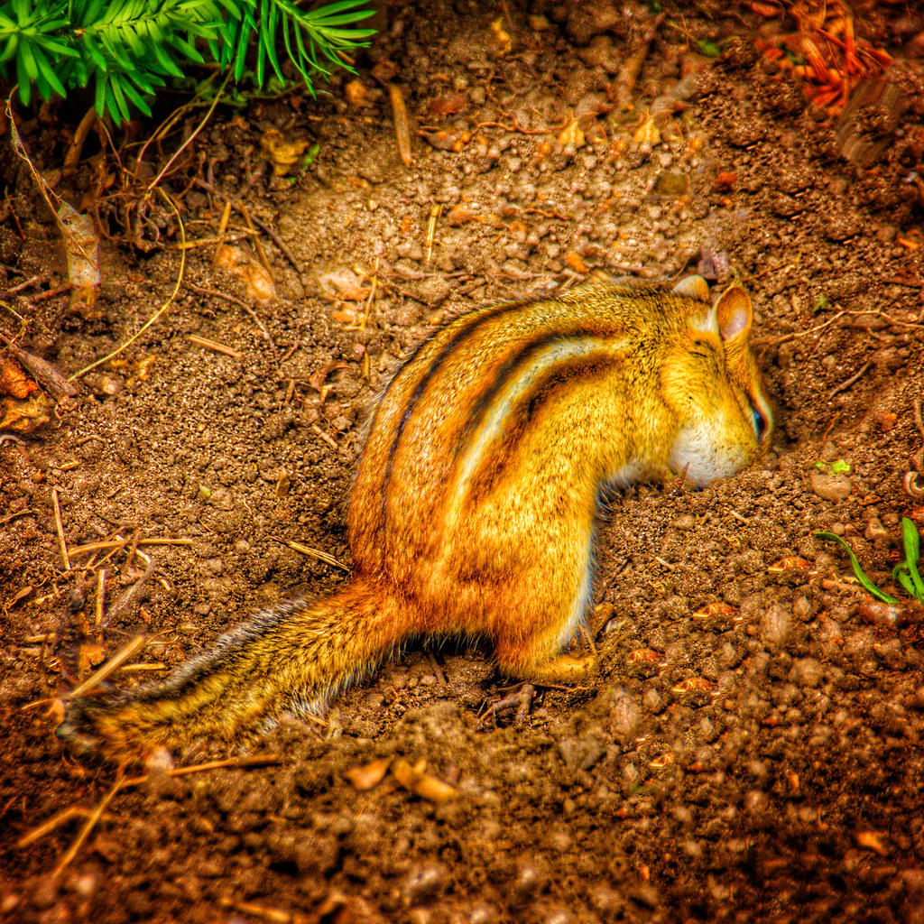 Edwards Garden ~ Toronto Ontario Canada ~ Chipmunk Burying Treasure ...