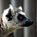 Ring-tailed Lemur - Africa Alive