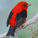 Scarlet Tanager - Photo (c) Jerry Oldenettel, some rights reserved (CC BY-NC-SA)