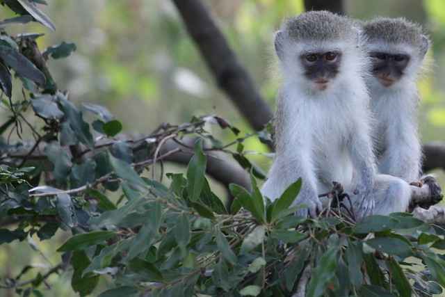 Two small monkeys curiously observe us in Kruger National Park