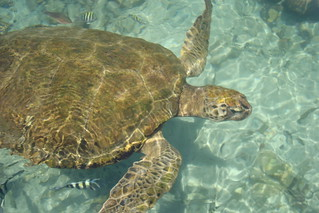 Rosario Islands Turtle