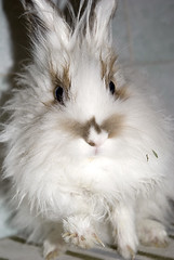animal(1.0), white(1.0), rabbit(1.0), domestic rabbit(1.0), pet(1.0), fauna(1.0), close-up(1.0), angora rabbit(1.0), whiskers(1.0), rabits and hares(1.0),