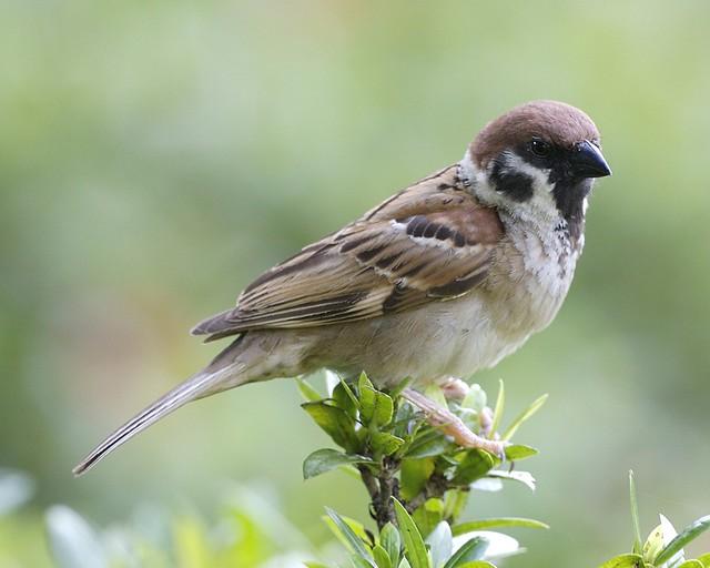 Eurasian Tree Sparrow  (Passer montanus malaccensis)