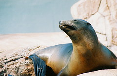 S is for Sealion