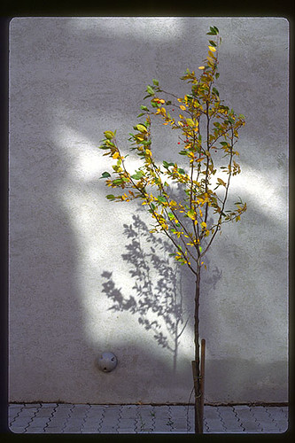 Tree with Berries, Toronto, November 1990