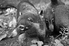 raccoon(0.0), animal(1.0), mammal(1.0), monochrome photography(1.0), fauna(1.0), monochrome(1.0), viverridae(1.0), black-and-white(1.0), procyonidae(1.0), wildlife(1.0),