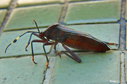 Doença de Chagas em cães