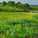 Bluebonnets Ridge