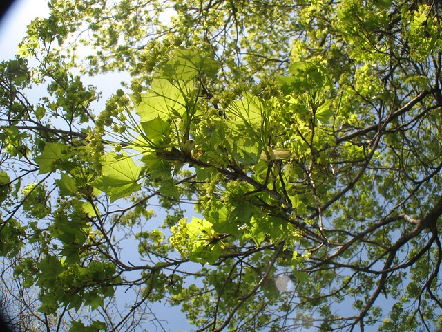 Spring Leaves in Cathedral Square