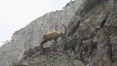 mountain, mountain range, geology, fauna, mountain goat, plateau, wilderness, wadi, wildlife, mountainous landforms,