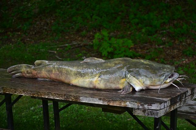 Flathead catfish little kanawha river flickr for Bank fishing near me