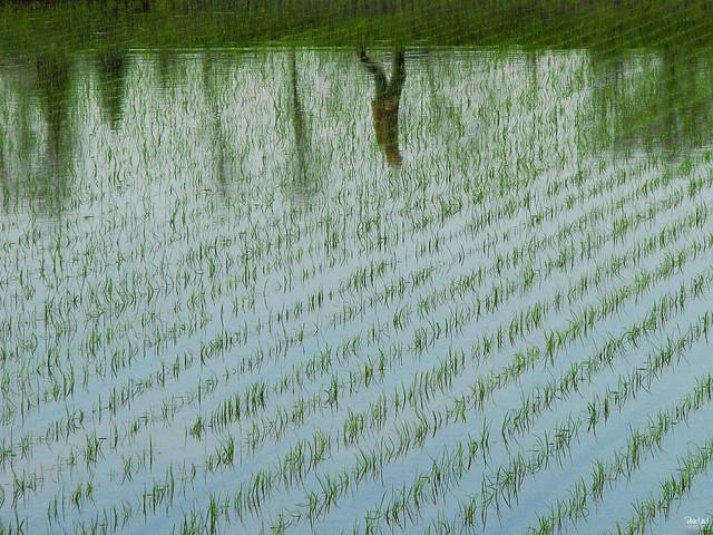 たんぼ Rice Field | Flickr - Photo Sharing! Rice