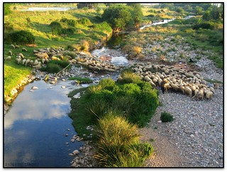 Ramat d'ovelles creuant el Congost, Llerona