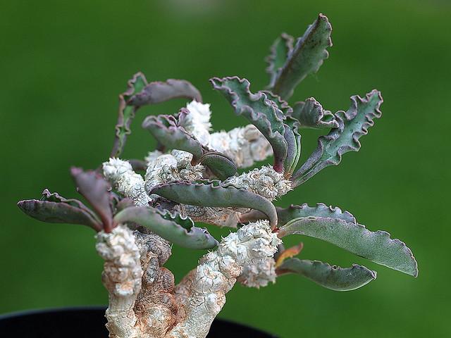Euphorbia cap-saintemariensis