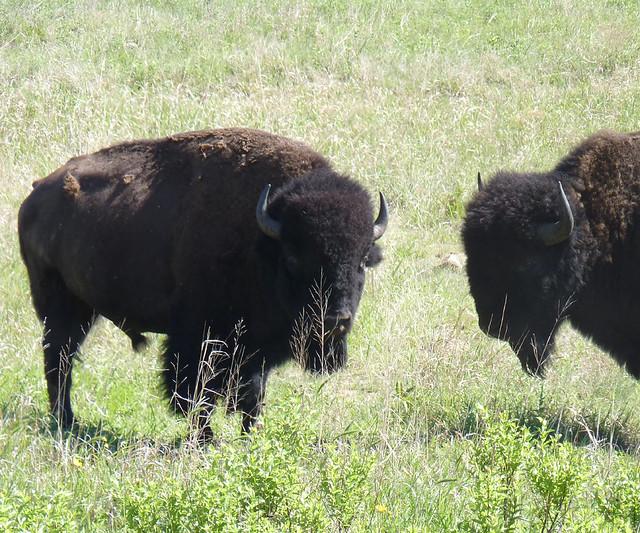 Bison Oklahoma Bison, Oklahoma | Flic...