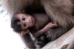 chimpanzee, animal, monkey, mammal, common chimpanzee, old world monkey, new world monkey, macaque, ape,