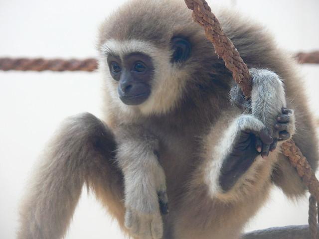 Fehérkezű gibbon / White-handed gibbon