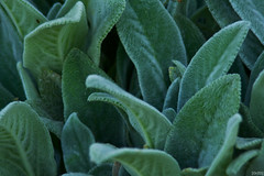 flower(0.0), produce(0.0), frost(0.0), annual plant(1.0), shrub(1.0), leaf(1.0), plant(1.0), flora(1.0), green(1.0), common sage(1.0),