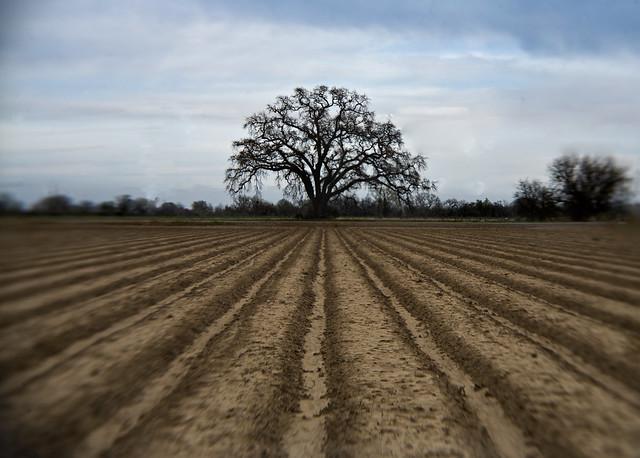 tree and furrow