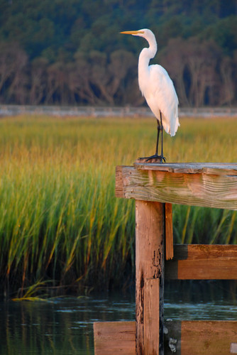 park beach state south huntington great salt carolina marsh egret bestnaturetnc07