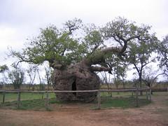 shrub, branch, tree, adansonia, rural area, savanna,