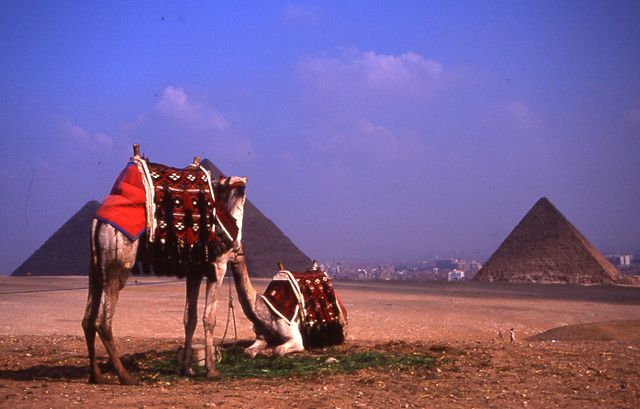 Camels at the Pyramids - Flickr Eugene Regis
