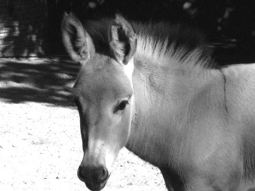 B&W Donkey