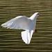White dove acrobatics by jsutton8