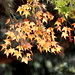 yellow and green maple leaves    MG 4548