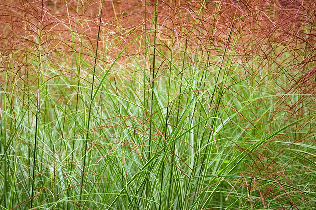 tall red grass flickr photo sharing ForTall Red Grass