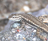 "<a href=""http://www.flickr.com/photos/jroldenettel/1556519029/"">Photo of Sceloporus virgatus by Jerry Oldenettel</a>"