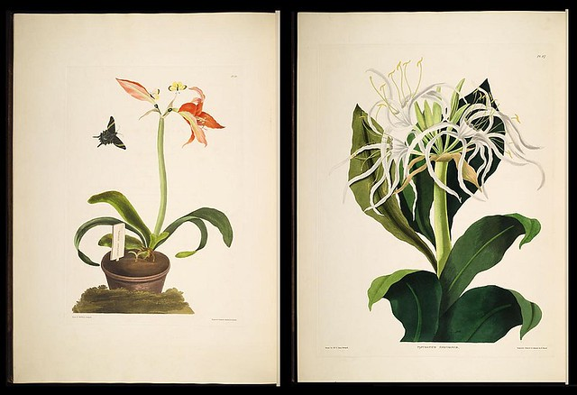 Amaryllis miniata and Pancratium speciosum