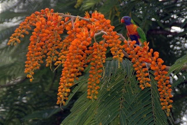 Colvillea Racemosa - Colville's Glory