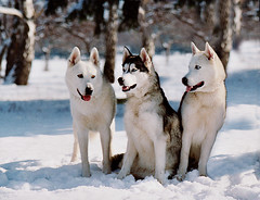 pet(0.0), norwegian buhund(0.0), kishu(0.0), sled dog racing(0.0), dog breed(1.0), animal(1.0), west siberian laika(1.0), dog(1.0), hokkaido(1.0), czechoslovakian wolfdog(1.0), winter(1.0), siberian husky(1.0), snow(1.0), canadian eskimo dog(1.0), mammal(1.0), east siberian laika(1.0), greenland dog(1.0), northern inuit dog(1.0), korean jindo dog(1.0), wolfdog(1.0), saarloos wolfdog(1.0), sled dog(1.0),