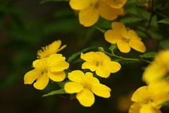 annual plant, flower, yellow, plant, mustard, macro photography, herb, flora, common tormentil, petal,