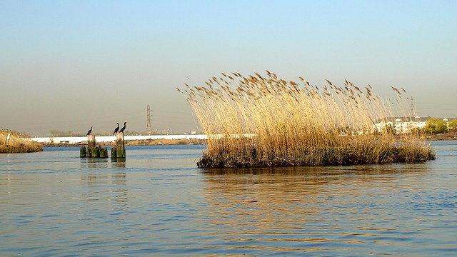 Cormorants in the New Jersey Meadowlands (Hackensack River)