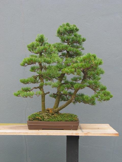 Pinus parviflora group planting in summer.