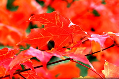 bright red maple leaves    MG 4546