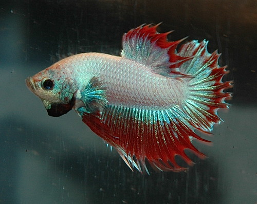 CTPK Multi M - Betta-Online