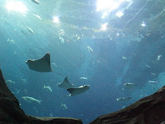 rays and skates(1.0), manta ray(1.0), fish(1.0), marine biology(1.0), underwater(1.0), reef(1.0),