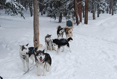 pet(0.0), dog(1.0), winter(1.0), vehicle(1.0), snow(1.0), mammal(1.0), mushing(1.0), dog sled(1.0), sled dog racing(1.0), sled dog(1.0),
