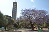 St Mary's tower and jacaranda