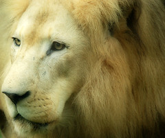 nose, animal, mane, big cats, lion, snout, mammal, head, fauna, close-up, whiskers,