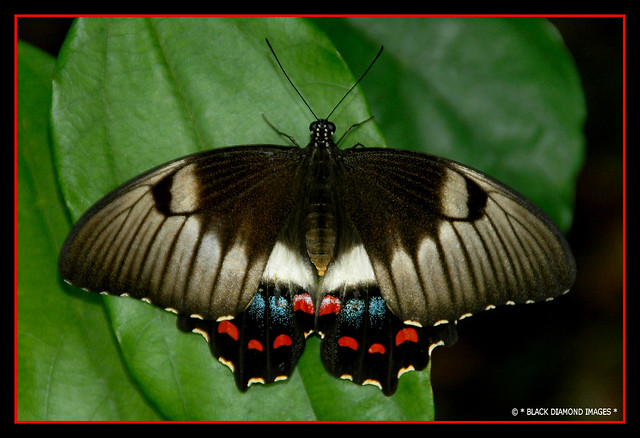 Papilio aegeus - Orchard Swallowtail Butterfly (Female)