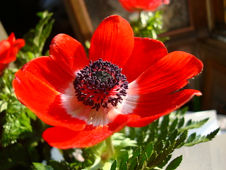 Anemone (or poppy? ) opened by the sun