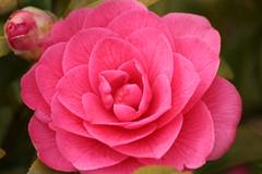 camellia(1.0), garden roses(1.0), camellia sasanqua(1.0), rosa 㗠centifolia(1.0), floribunda(1.0), flower(1.0), plant(1.0), camellia japonica(1.0), theaceae(1.0), pink(1.0), petal(1.0),