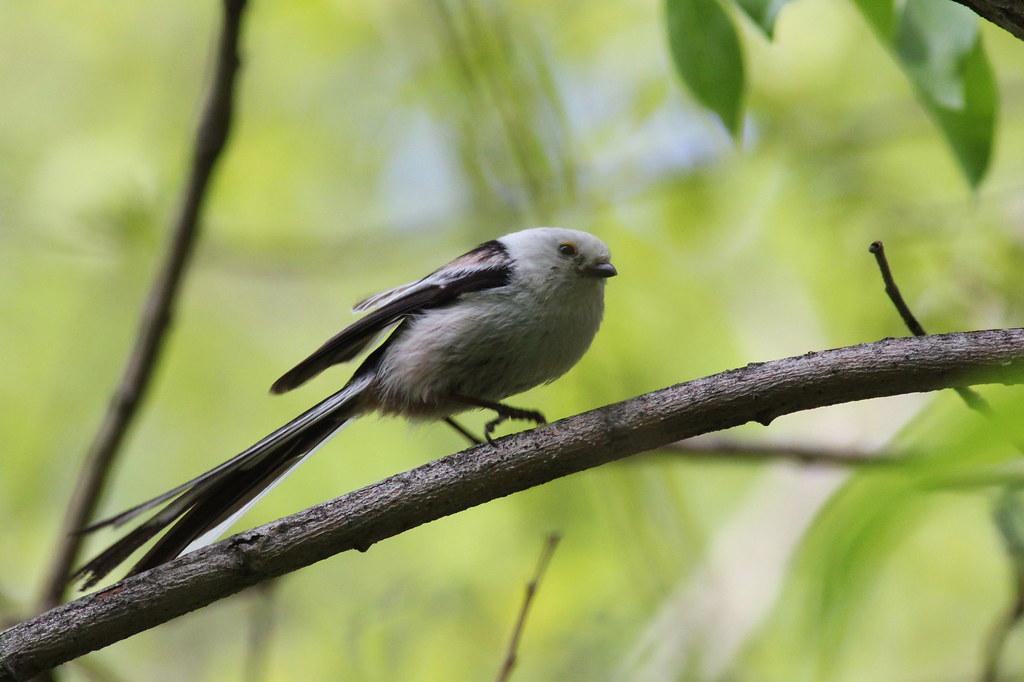 Длиннохвостая синица (Aegithalos caudatus). Автор фото:Татьяна Бульонкова
