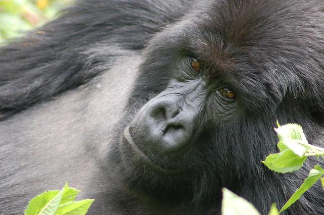 Gorila de montaña en el Parque Nacional de los Volcanes. Las montañas Virunga. Ruanda.